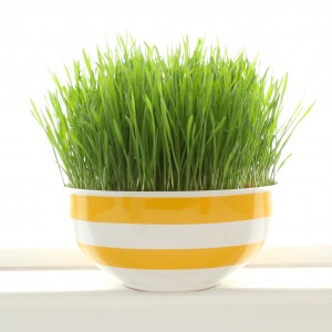 easy steps to grow Wheatgrass