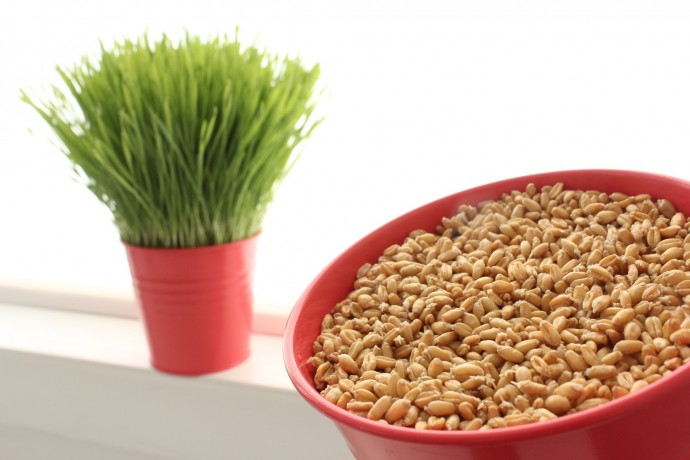 simple way to grow Wheatgrass