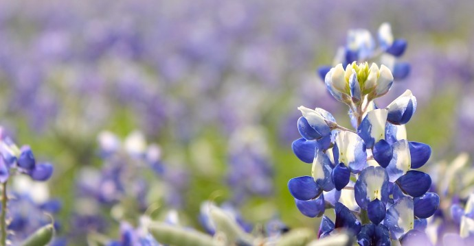 Blue Bonnets and Texas on MADE Everyday
