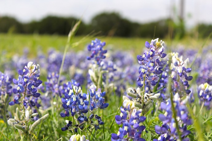 Blue Bonnets in Texas by Dana Willard